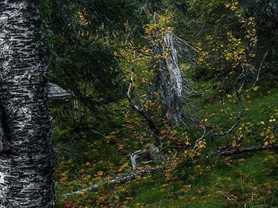 Skog Dalarna